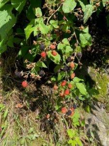 Wild blackberries growing on a bush